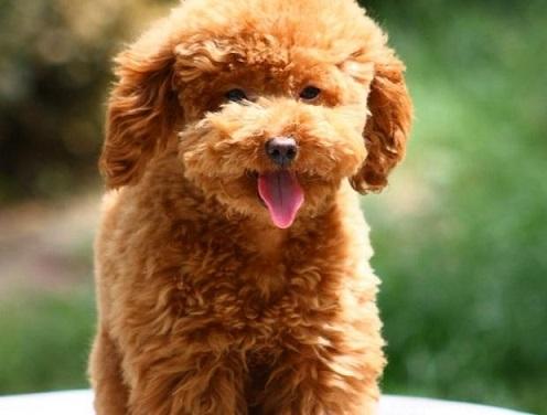 泰迪掉毛吗?泰迪犬掉毛吗?泰迪犬掉毛怎么办?